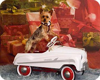 Yorkie, Yorkshire Terrier Dog for adoption in Sinking Spring, Pennsylvania - Lui