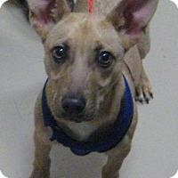 Adopt A Pet :: apache - Johnson City, TN