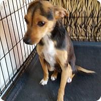 Adopt A Pet :: DAISY-MAY - TAHOKA, TX