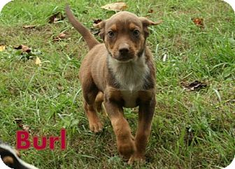 Retriever (Unknown Type) Mix Puppy for adoption in Danbury, Connecticut - Burl ADOPTION PENDING