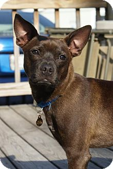 Boston Terrier Mix Dog for adoption in Hollis, Maine - Moe