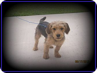 Terrier (Unknown Type, Small)/Yorkie, Yorkshire Terrier Mix Dog for adoption in Indian Trail, North Carolina - Kip