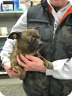 french bulldog dachshund mix yoda adopted dog bellingham wa french bulldog 2688