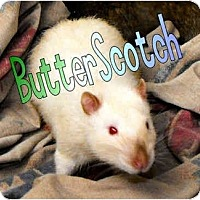 Adopt A Pet :: Butterscotch - Las Vegas, NV