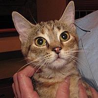 Domestic Shorthair Cat for adoption in Carlisle, Pennsylvania - Rue