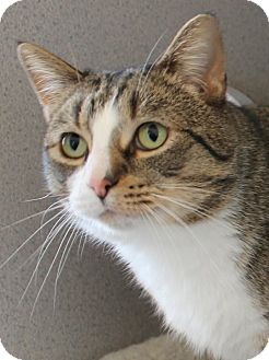 Domestic Shorthair Cat for adoption in Waupaca, Wisconsin - Rudy