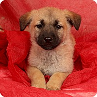 Adopt A Pet :: Dazzle Shepherd - St. Louis, MO