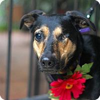Adopt A Pet :: Holly GoLightly - Baton Rouge, LA