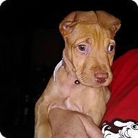 Adopt A Pet :: maddison - Gadsden, AL