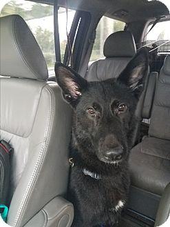 German Shepherd Dog Mix Dog for adoption in Louisville, Kentucky - Nero