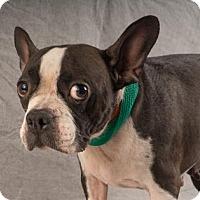 Boston Terrier Dog for adoption in Colorado Springs, Colorado - Gidget