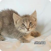 Adopt A Pet :: Shasta - Hot Springs Village, AR