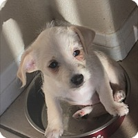 Adopt A Pet :: Kalea - Las Vegas, NV