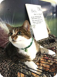 Domestic Shorthair Cat for adoption in Holland, Michigan - Stella