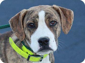Boxer Mix Dog for adoption in Staunton, Virginia - Anniston - ADOPTION IN PROGRESS