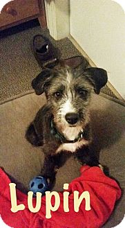 Terrier (Unknown Type, Medium) Mix Puppy for adoption in Albuquerque, New Mexico - Lupin