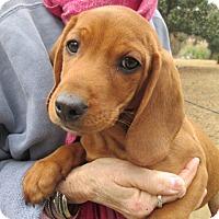 Adopt A Pet :: CLIFFORD - Williston Park, NY