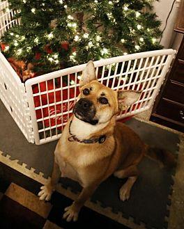 German Shepherd Dog/Akita Mix Dog for adoption in Nesbit, Mississippi - Bonnie