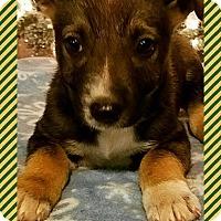 German Shepherd Dog/Labrador Retriever Mix Puppy for adoption in Ringwood, New Jersey - Gimli