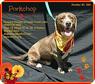 Basset Hound Mix Dog for adoption in Plano, Texas - Porkchop