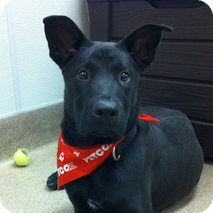 Labrador Retriever/German Shepherd Dog Mix Dog for adoption in Gilbert, Arizona - Thunder