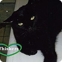 Adopt A Pet :: Whiskers - Huntington, NY