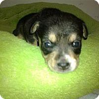 Adopt A Pet :: Pearl - Cumberland, MD