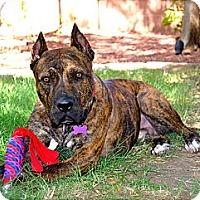 Adopt A Pet :: Gustavo~ adoption pending - Phoenix, AZ