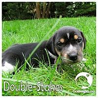 Adopt A Pet :: Double-Stakes - Novi, MI