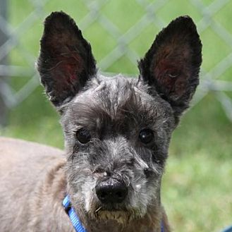 Standard Schnauzer Mix Dog for adoption in Spring, Texas - Boy Bear