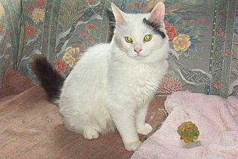 Domestic Mediumhair Cat for adoption in Chapman Mills, Ottawa, Ontario - BANJO