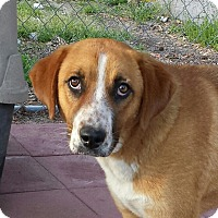 Labrador Retriever/Hound (Unknown Type) Mix Dog for adoption in Snow Hill, North Carolina - Alley
