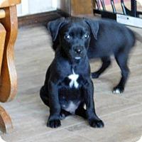 Adopt A Pet :: Ronnie - Aurora, CO