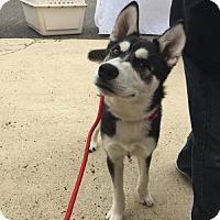 Siberian Husky Dog for adoption in Matawan, New Jersey - Lucas