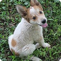 Adopt A Pet :: Blossom (Dols) - Allentown, PA