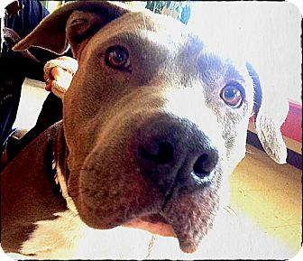 American Staffordshire Terrier/American Pit Bull Terrier Mix Dog for adoption in Johnson City, Texas - Phoenix
