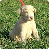 Adopt A Pet :: Blitz/ADOPTED - parissipany, NJ
