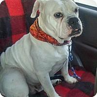 English Bulldog/Boxer Mix Dog for adoption in Newark, Delaware - Rhue
