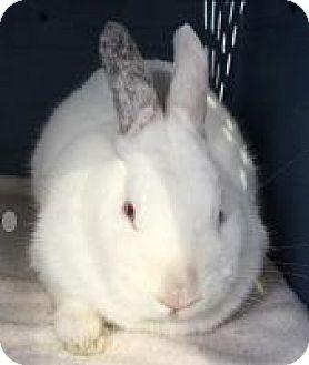Dwarf Mix for adoption in Woburn, Massachusetts - Pipkin