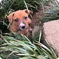 Adopt A Pet :: Mango (ETAA) - Hagerstown, MD