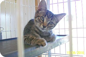 Domestic Shorthair Cat for adoption in Mexia, Texas - Jesse James