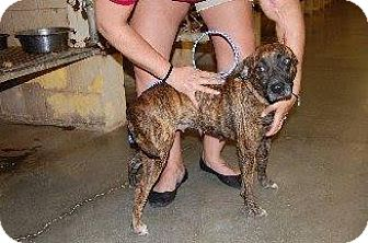 Mountain Cur Mix Dog for adoption in Laingsburg, Michigan - Ally
