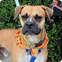 Adopt A Pet :: Liam - Houston, TX