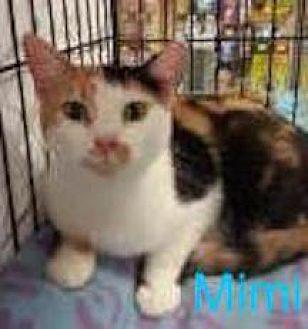 Domestic Shorthair Cat for adoption in Satellite Beach, Florida - Mimi