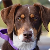 Chesapeake Bay Retriever Mix Dog for adoption in Payson, Arizona - Roscoe
