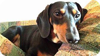 Dachshund Dog for adoption in Jacksonville, Florida - Fletcher aka Fletch
