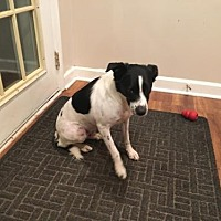 Adopt A Pet :: Petey (Courtesy Listing from Oak Lawn, IL) - Evansville, IN
