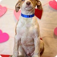 Adopt A Pet :: Ike - Waldorf, MD