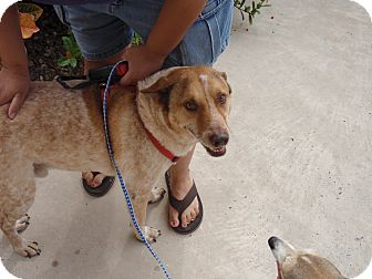 Blue Heeler Dog for adoption in Port Isabel, Texas - Rocco