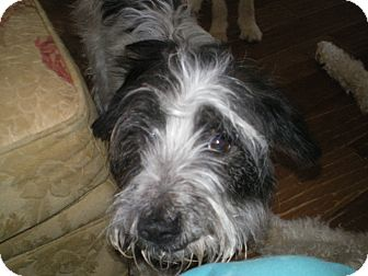 Schnauzer (Miniature)/Terrier (Unknown Type, Medium) Mix Dog for adoption in Apex, North Carolina - Jessi